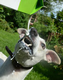 Dog drinks milk with some spill. Whippet dog drinks milk from a bottle Royalty Free Stock Image