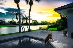 Dog drinks out of a swimming pool at sunset with palm trees Stock Photos