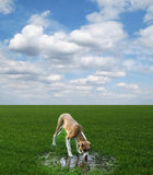 Dog drinks from a puddle on the green field Royalty Free Stock Image