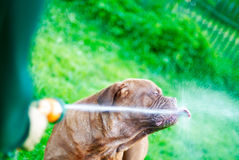 The dog drinks water Royalty Free Stock Image