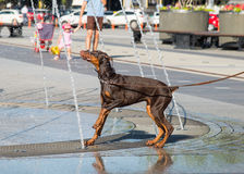Dog drinks water Stock Photography