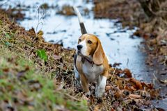 Beagle. Walking outdoors in the autumn.Beautiful closeup portrait. royalty free stock images
