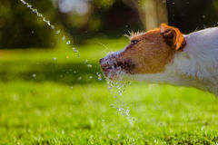 Dog drinks water, spray. Dog Jack Russell Terrier. Summer sun splashes stock image