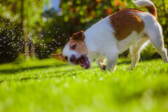 Dog drinks water, spray. Dog Jack Russell Terrier. Summer sun splashes royalty free stock images