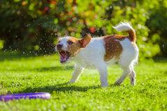 Dog drinks water, spray. Dog Jack Russell Terrier. Summer sun splashes stock images