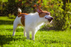 Dog drinks water, spray. Dog Jack Russell Terrier. Summer sun splashes stock photo