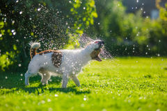 Dog drinks water, spray. Dog Jack Russell Terrier. Summer sun splashes royalty free stock photo