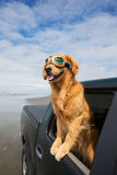 Dog on a drive Stock Photography