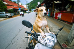 Dog driver Stock Photography