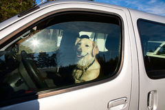 Dog driver. The dog sat in the car like a driver Royalty Free Stock Photo
