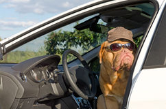Dog driver. With sunglasses and hat royalty free stock photography