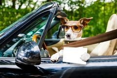 Dog drivers license driving a car stock image