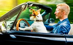 Dog drivers license driving a car. Jack russell dog in a car close to the steering wheel, ready to drive fast and save , with seat belt fastened Royalty Free Stock Images