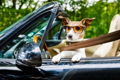 Dog drivers license driving a car royalty free stock photography