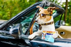 Dog drivers license driving a car royalty free stock photo