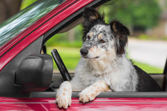 Dog in drivers seat of car Stock Photo
