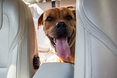 Dog driving in back end of a car. Pet transportation Stock Photo