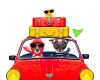Dog driving a car. Couple of jack russell just married dogs driving a car for summer vacation holidays or honeymoon , isolated on white background, stack of Royalty Free Stock Image