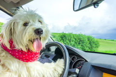 Dog driving a steering wheel Royalty Free Stock Photos