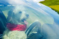 Dog driving a steering wheel Stock Photography