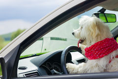 Dog driving a steering wheel in a car Stock Image