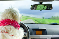 Dog driving a steering wheel in a car Royalty Free Stock Image