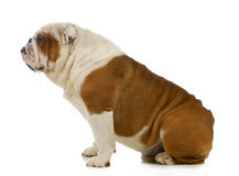 Dog drooling. English bulldog with slobber running out of mouth on white background Royalty Free Stock Photo