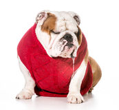 Dog drooling. Dog wearing red sweater with drool dripping out of mouth royalty free stock photos