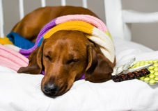 Dog and drug. Dog catch a cold and take the drug Royalty Free Stock Images