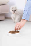Dog with dry food. Little dog maltese waiting for eating his food from a bowl in home Royalty Free Stock Photos