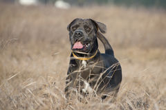 The dog in dry grass  during guarding dressage Stock Images