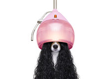Free Dog Drying Hair At Hairdressers Royalty Free Stock Images - 82738909