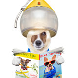 Dog drying hair at hairdressers royalty free stock images