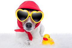 Dog and duck. Dog wearing a scarf with yellow sunglasses and a yellow rubber duck stock images