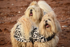 Dog Duet Royalty Free Stock Images