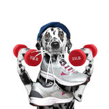 Dog with dumbbells playing sports -- running and jogging Royalty Free Stock Photography