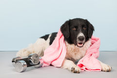 Dog with dumbbells and towel. Dog with towel and dumbbells at the health club Royalty Free Stock Photography