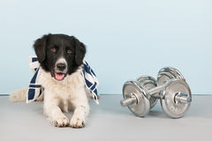 Dog with dumbbells and towel Stock Photography