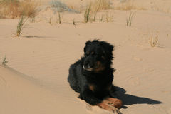 Dog on dune Stock Images