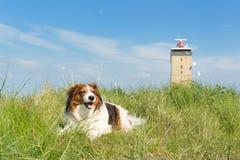 Dog in the dunes. Kooikerhondje laying in the dunes at Dutch wadden island Terschelling royalty free stock photos