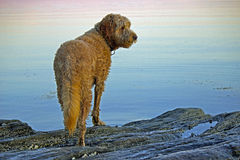 Dog at Dusk. A large golden doodle dog stands on rocks by the ocean at dusk Royalty Free Stock Photos