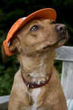 Dog with Dutch cap Royalty Free Stock Photos