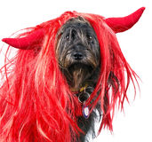 Dog with dwvil horns Stock Image