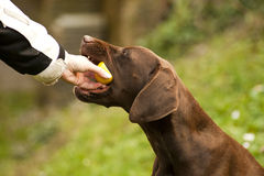 Dog eaitng lemon Royalty Free Stock Image