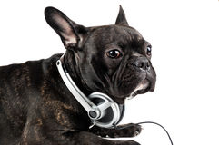 Dog in earpiecess Stock Photography