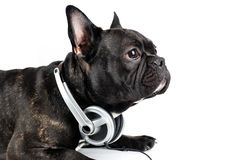 Dog in earpiecess Royalty Free Stock Photography