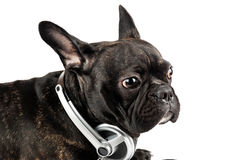 Dog in earpiecess Stock Images