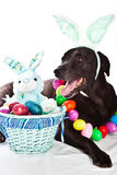 Dog and Easter basket. Black Labrador mixed dog with colorful Easter basket Stock Images
