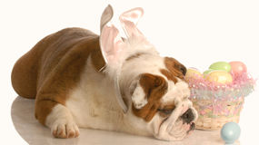 Dog with easter basket Royalty Free Stock Photography
