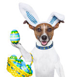 Dog easter bunny Stock Photography